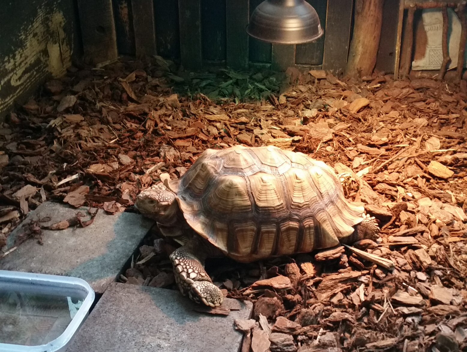 Another Large Tortoise Warming Up Under a Lamp